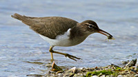 Spotted Sandpiper with sand crab, J. Ding Darling, Florida