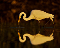 Double Vision: Egret with Fish