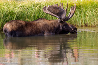Bull Moose Cooling Off