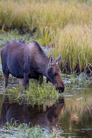 Cow Moose Reflection