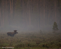 Moose Music in the Mist