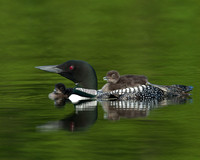 Loon with Rider