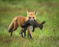 Vixen carrying rabbit to her den