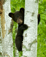 Shy Black Bear Cub