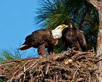 Eagle feeding eaglet, Florida