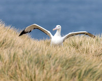 Wandering Albatross Adult Ready to Fly