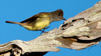 Great Crested Flycatcher Walking