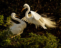 Egret Offers Stick to Mate