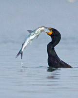 Double Crested Cormorant Fishing
