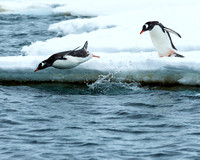Gentoo Penguins Diving, Antarctica