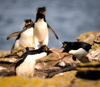 Rockhopper Penguins arguing