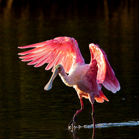 Spoonbill Dance in Ding Darling, FL