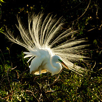 Backlit Egret Display