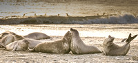 Elephant seals in sandstorm