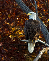 Fall Eagle,St. Croix River, WI