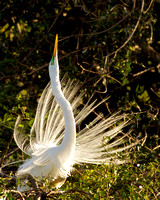 Egret Mating Call