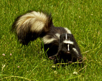 Mother Skunk with young