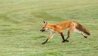 Graceful sprinting fox