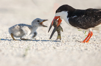 Black Skimmer feeding chick, Siesta Key