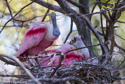 Roseate Spoonbills (Ajaia ajaja) sleeping with chicks