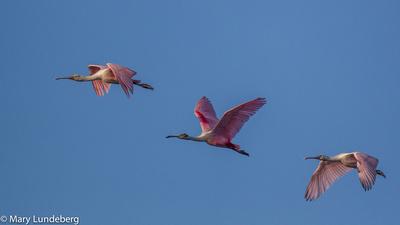 Roseate Spoonbills flying