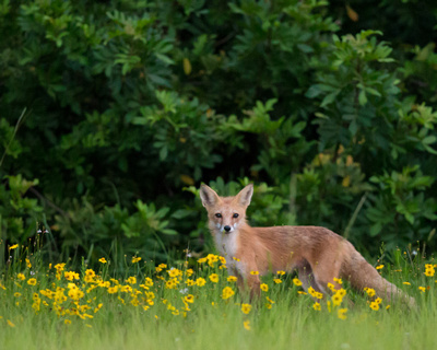Red Fox Vixen in wildflowers