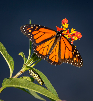 Monarch with caterpillar on Milkweed