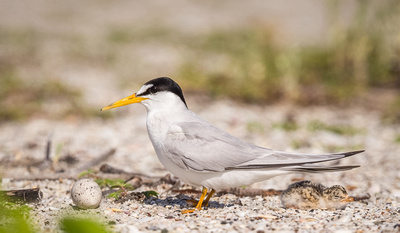 4.Least_tern_egg_and_chick