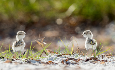 4. Two snowy plover chicks pause