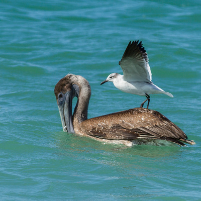 Juvenile_Brown_Pelican_with_Seagull