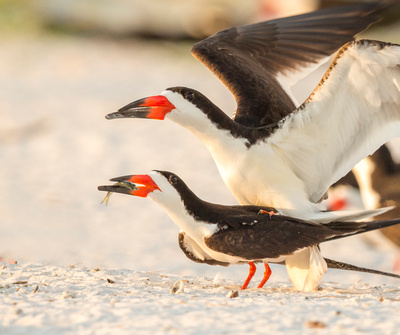 4.Black_Skimmers_Mating