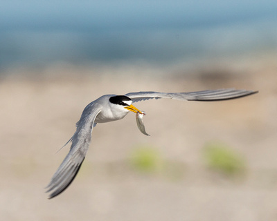1. Least tern carrying minnow to attract mate