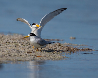 3.Least_Tern_Mating_Dance