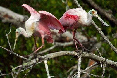 Roseate Spoonbills, Ding Darling, Florida