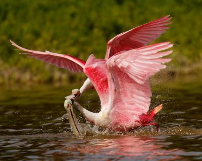 Roseate Spoonbill Kiss, Everglades