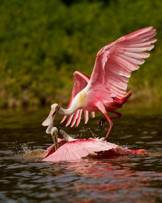 Roseate Spoonbill Love, Everglades