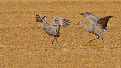 Crane Courtship Dance, Bosque del Apache, New Mexico