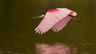 Roseate in Flight, Everglades