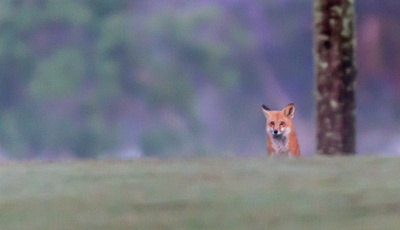 Fox on hill