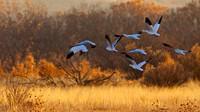 Snow Geese at Bosque del Apache, New Mexico