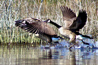 Canada Geese Takeoff