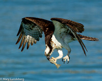 Osprey with fish, Lemon Bay, FL