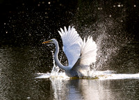 8.Great egret juvenile splashing