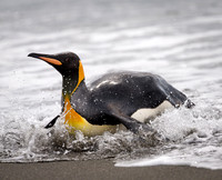 King Penguin Surfing