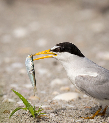 Least Tern with gift