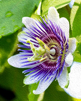 Painted Passion Flower