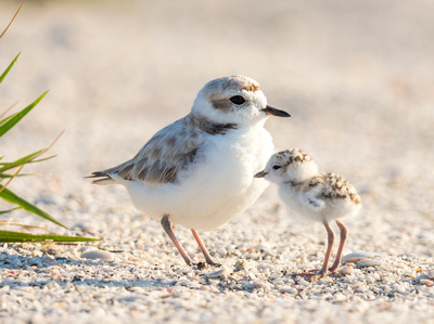 2 Snowy Plover cuddling with chick
