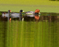 Redheaded Duck, Coot and Moorhen