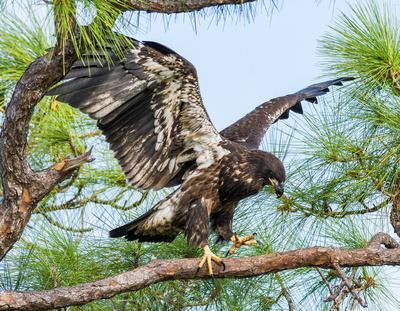 Eaglet branching