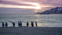 King Penguins at Dawn, St. Andrews Bay